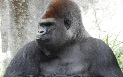 The Gorilla In Your House